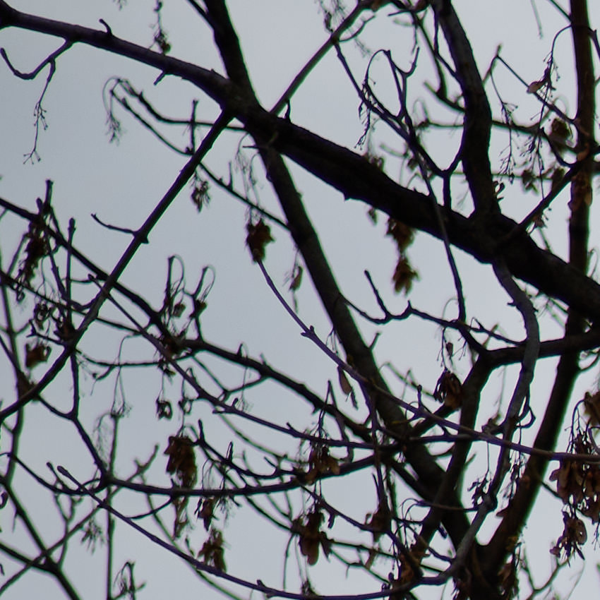 Viltrox: An den Zweigen links purpurner, rechts grüner Schimmer.